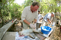 Roger Griffin Working On Wounded Toque Macaque