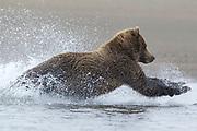 Alaskan brown bear fishing for silver salmon in Lake Clark National Park