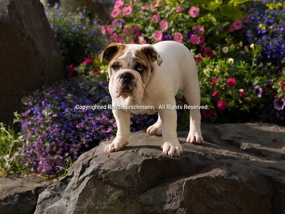 """Bulldog, AKC, 4-month-old puppy """"Patch"""" photographed in Fairbanks, Alaska and owned by Neil Koeniger of Anchorage, Alaska.  (PR)"""