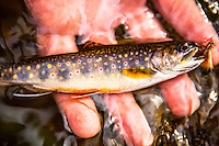 Man fly fishing for brook trout and rainbow trout in a stream in the Blue Ridge Mountains of Virginia.