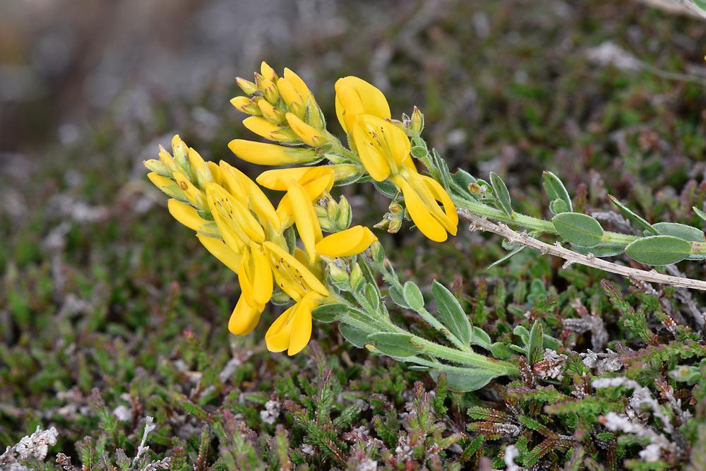 Dyer's Greenweed - Genista tinctoria