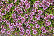 Creeping thyme (Thymus serpyllum) at Brackley Beach<br />