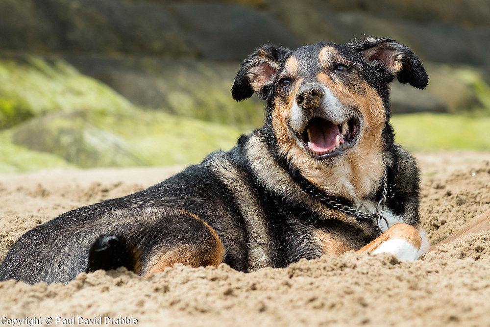 A mixed breed dog lying on the beach at Scarborough in Yorkshire  <br /> 11 July 2016<br />  Copyright Paul David Drabble<br />  www.pauldaviddrabble.photoshelter.comom
