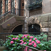 Brownstone Apartment Buildings and Hydrangeas on the Upper West Side of Manhattan