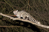 Common Genet Genetta genetta Length 85-100cm Slender, long-tailed carnivore whose coat has rows of dark spots; tailed had dark bands and is white-tipped. Widespread across Iberian peninsula and North Africa.