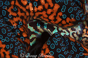 mantle & siphon of giant clam, Tridacna sp., Bay of Wrecks, Christmas Island, Line Islands, Republic of Kiribati ( South Pacific Ocean )