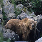 Alaskan Brown Bear, (Ursus middendorffi) Kodiak National Wildlife Refuge.Fishing for salmon.Alaska