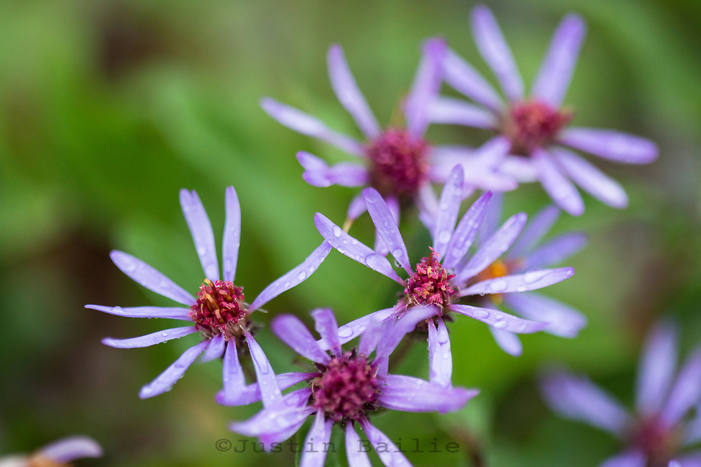 Wildflowers along the South Fork of the Flathead River, Montana.