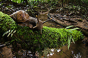 Land Snail (Caracolus sp, Orthalicidae)<br /> Yasuni National Park, Amazon Rainforest<br /> ECUADOR. South America
