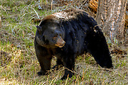 Large boar (male) Black bear in habitat.