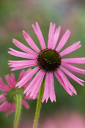 Echinacea Tennesseensis Rocky Top Hybrids
