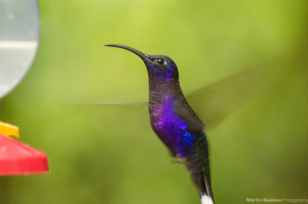 Violet Sabrewing (Campylopterus hemileucurus), Monteverde Cloud Forest Biological Reserve, Monteverde, Costa Rica