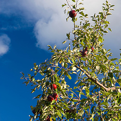 Apples on branches at Green Mountain Orchards in Putney, Vermont.