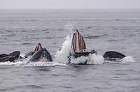 Bubble net feeding Humpback Whales at Morris Reef in Chatham Strait, Southeast Alaska