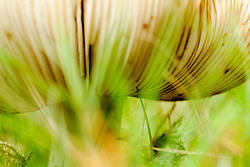 Panteramaniet, Amanita pantherina