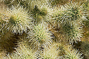 cholla cactus (Opuntia cholla) closeup in the spring at the Anza-Borrego Desert, California, USA