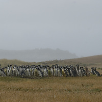 Magellanic Penguins flock together on Carcass Island in Britain's Falkland Islands.