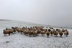 © Licensed to London News Pictures. 12/02/2017. Clun, Shropshire, UK. Sheep are seen in a field of snow above the town of Clun in Shropshire after recent light snowfalls. More snow started to fall in the area around late morning. UK. Photo credit: Graham M. Lawrence/LNP