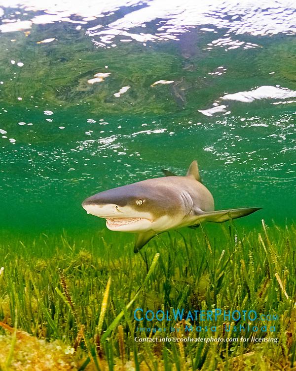 lemon shark, Negaprion brevirostris, in seagrass bed, Little Card Sound, Biscayne Bay, Key Largo, Florida Keys National Marine Sanctuary, Florida, USA, Caribbean Sea, Atlantic Ocean