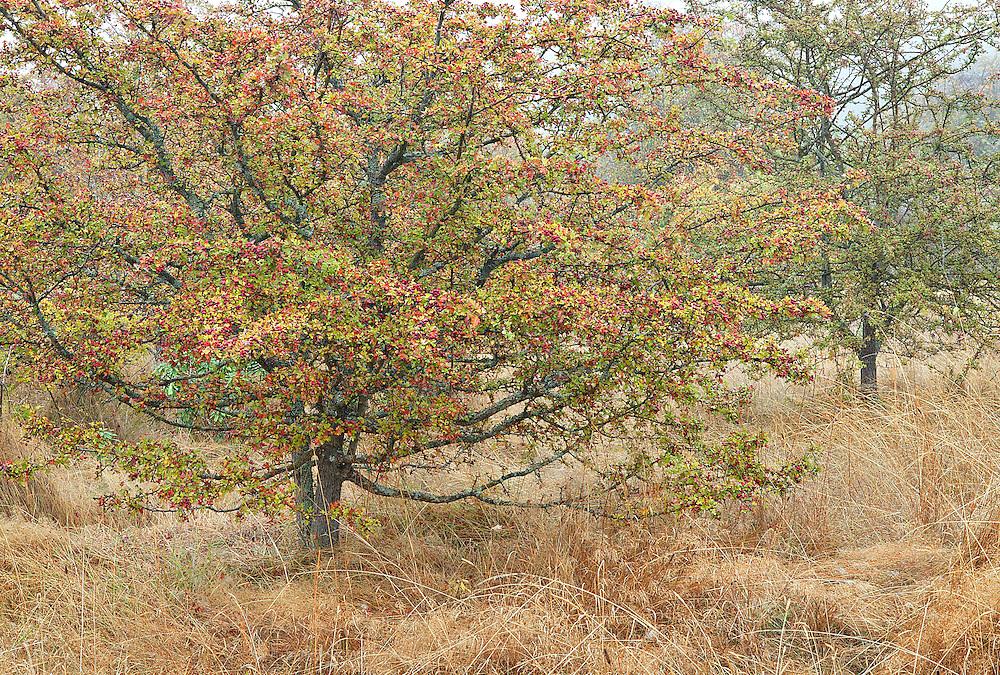 Autumn Hawthorn Trees in Grassy, Foggy Meadow, Anacortes, Washingto
