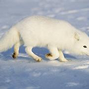Arctic Fox (Alopex lagopus) scavenging on frozen tundra in Churchill, Manitoba, Canada.