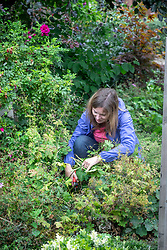 Cutting back early-flowering perennials - geraniums - after they have finished flowering.