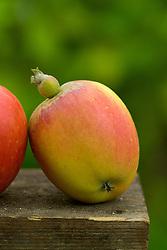 Apple 'Baker's Delicious' - Malus