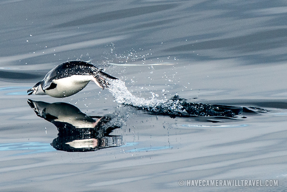 A Chinstrap penguin is caught mid-flight as it momentarily flies out of the water in Antarctica.