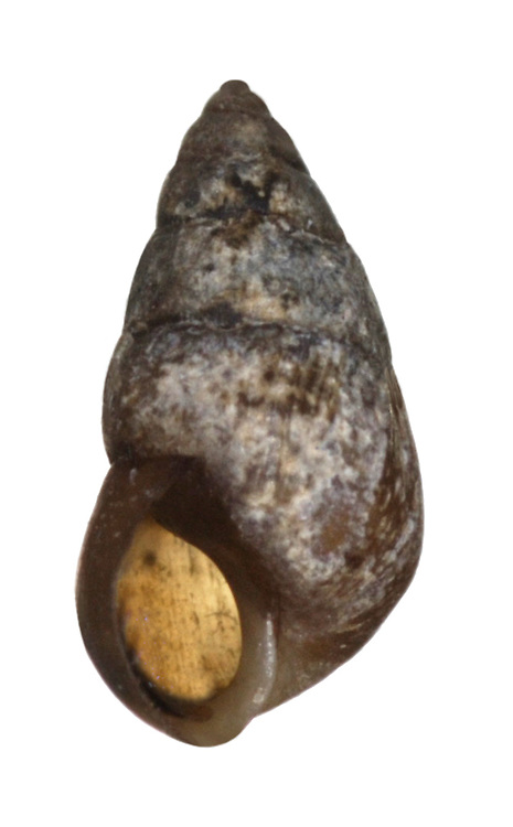 laver spire shell
