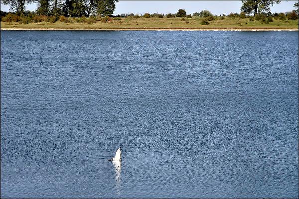 Nederland, Ooij, 4-10-2012De bizonbaai is een recreatieplas, waterplas, meertje, baai, langs de rivier de Waal. Onderdeel van staatsbosbeheer. Een witte zwaan heeft juist zijn kop onder water.Foto: Flip Franssen/Hollandse Hoogte