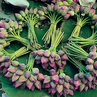 Asia, India, Calcutta. Fresh cut bunches of Lotus the flower market in Calcutta.