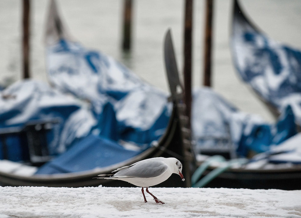 VENICE, ITALY - FEBRUARY 12:  A seagull searches for food in the snow in front of a Gondola in St Mark's Basin on February 12, 2012 in Venice, Italy. Italy, like most of Europe, is experiencing freezing temperatures, with the Venice Lagoon freeezing for the first time in over 20 years.