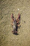 Crayfish, Los Angeles River, Glendale Narrows, Los Angeles, California, USA