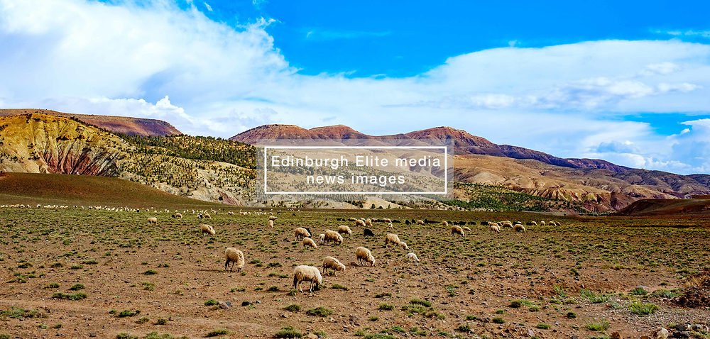 Sheep and goats grazing in the foothills of the Atlas Mountains near Telouet, Morocco<br /> <br /> (c) Andrew Wilson   Edinburgh Elite media