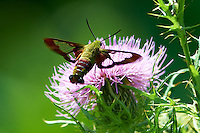 Clearwing Hummingbird Moth on a Thistle Bloom. Summer Nature in New Jersey. Image taken with a Nikon D4 and 300 mm f/2.8 VR lens (ISO 100, 300 mm, f/4, 1/500 sec).