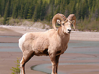 Bighorn Sheep in Kananaskis Country