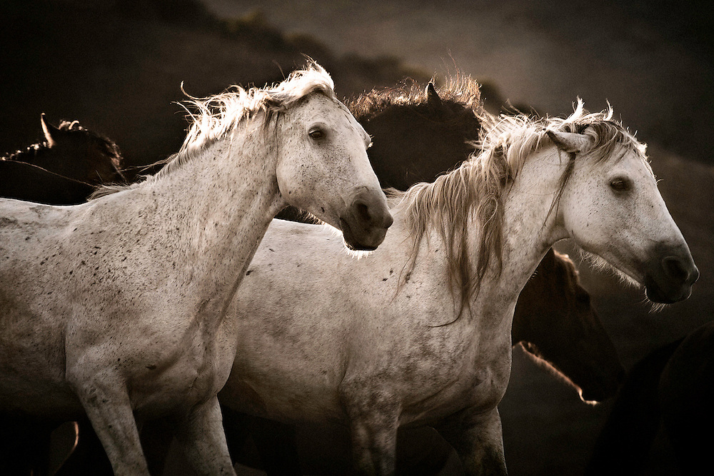 """Agrippas is a pack of wild mustangs running free off in the mountains in Lompoc CA at the Return to Freedom Wild Horse Sanctuary, these horses ran together and never parted from each other. This image is perfect for portraying what the name implies in greek, which is """"wild horse."""""""
