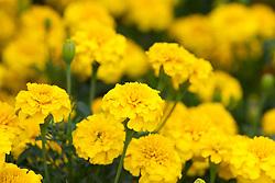 Tagetes patula 'Yellow Jacket'. Marigold