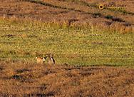 Whitetail Deer Bucks in Canola Field in the Flathead Valley, Montana, USA