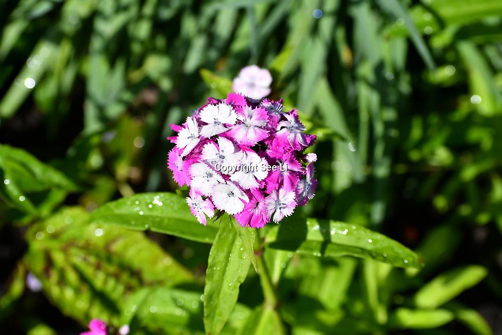 London, UK. 27 June 2019. UK Weather - The Hottest week in June 2019. Flowers at St James park, London, UK