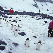Antarctica, Helicopter shuttles tourists to Atka Bay and Emperor Penguin rookery. .