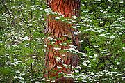 Mountain Dogwood (Cornus nuttallii),  Yosemite National Park, California USA