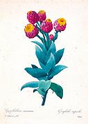 19th-century hand painted Engraving illustration of a Gnaphalium Eximium - Giant Cudweed flower, by Pierre-Joseph Redoute. Published in Choix Des Plus Belles Fleurs, Paris (1827). by Redouté, Pierre Joseph, 1759-1840.; Chapuis, Jean Baptiste.; Ernest Panckoucke.; Langois, Dr.; Bessin, R.; Victor, fl. ca. 1820-1850.