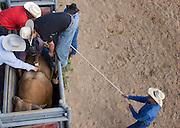 Cowboy gets ready to ride a bucking bull.