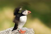 Puffin standing on a rock and flapping with the wings, light green background | Lundefugl som står på en stein og flakser med vingene, på lys grønn bakgrunn