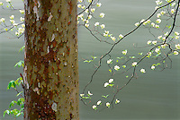 Sycamore tree trunk and the graceful branches of a flowering dogwood along the Chattooga River, South Carolina USA