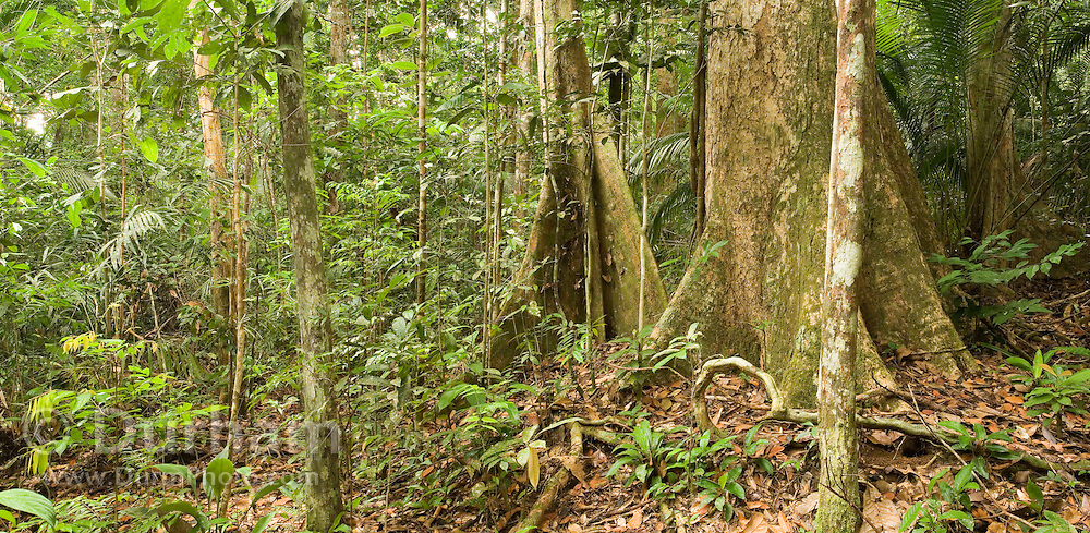 Ancient rainforest in Endau-Rompin National Park, Malaysia. Untouched by the ice ages, these forests are the oldest known on earth. The foreground large buttress tree on the right is Anisoptera curtisii.