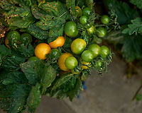 """Yellow """"Cherry"""" Tomatoes (almost ripe). Image taken with a Leica SL2 camera and 24-90 mm lens."""