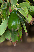avocado fruit (Persea americana) on a tree in an orchard. Photographed at Kibbutz Maagan Michael, Israel