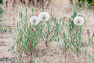 Yellow Salsify (Tragopogon dubius) seed heads in the meadows at Blackie Spit near Crescent Beach in Surrey, British Columbia, Canada.